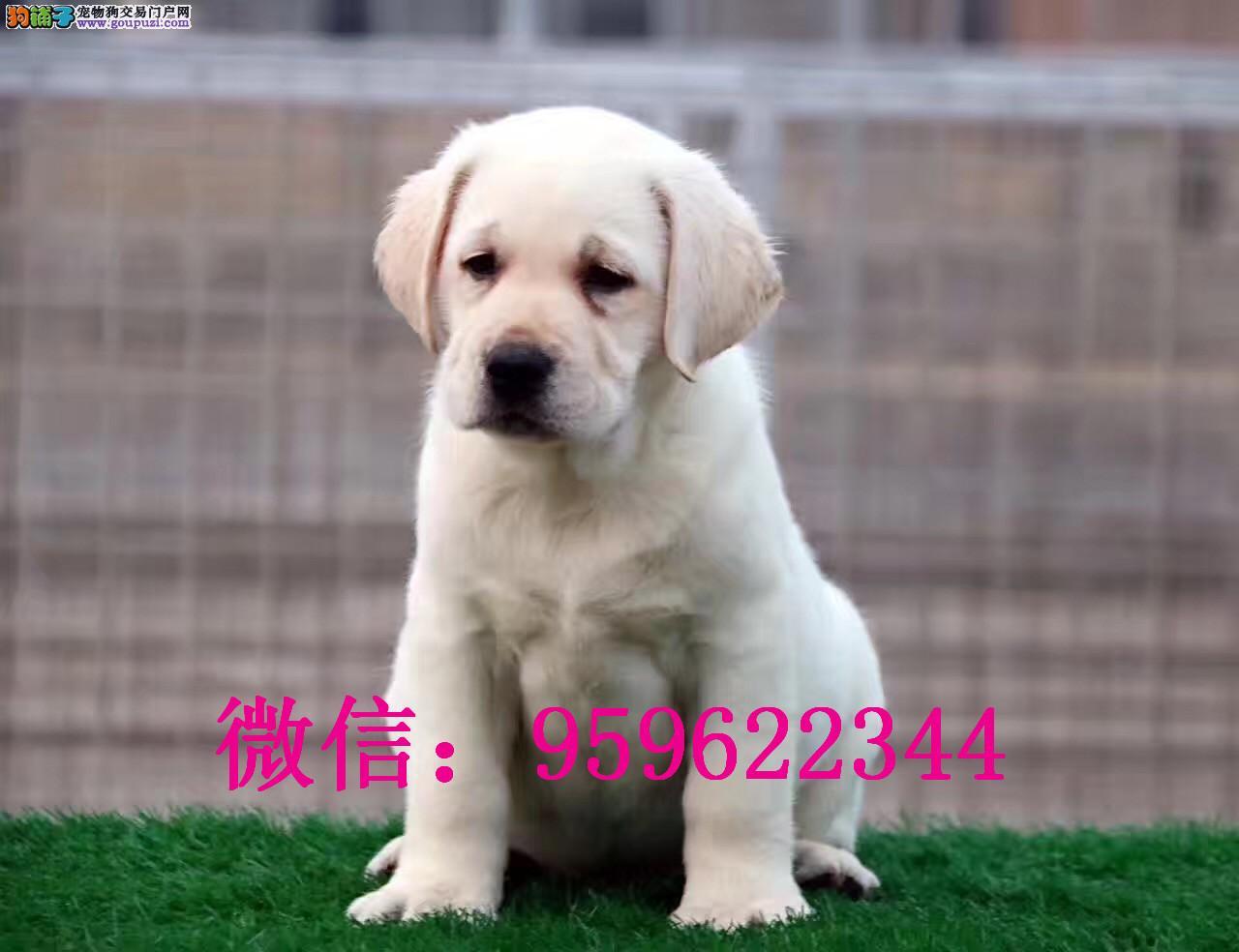 聪明温顺英系拉布拉多犬 奶白色黑色 极品幼犬待售