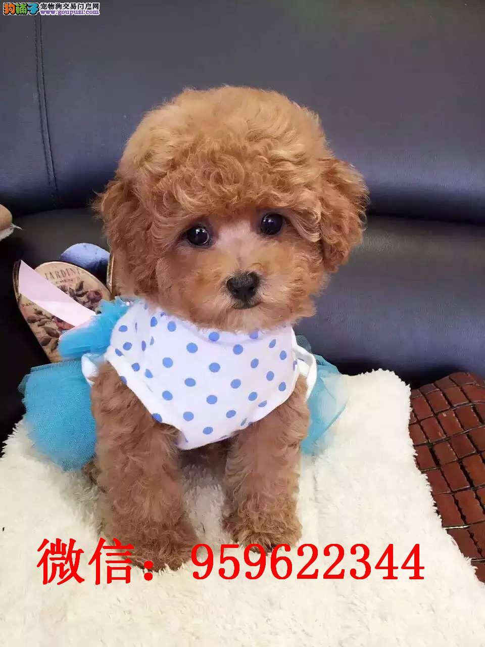 桂林哪里卖泰迪犬泰迪多少钱玩具泰迪图片泰迪幼犬