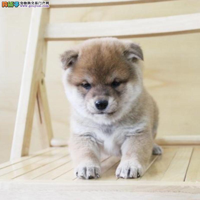 忠诚可靠的漂亮柴犬 疫苗齐全品相好保证纯种健康