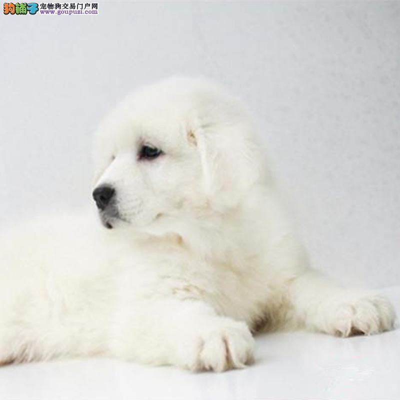 宠物协会认证 精品纯种大白熊幼犬出售 赠用品 包