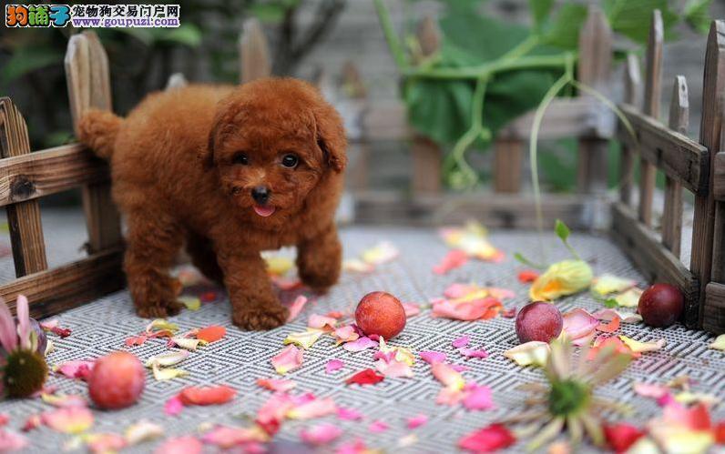 卷毛犬泰迪幼犬 玩具 茶杯 迷你 颜色齐全可以送货