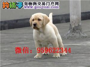 出售纯种黑色和米黄色拉布拉多犬 包健康纯种 可签订