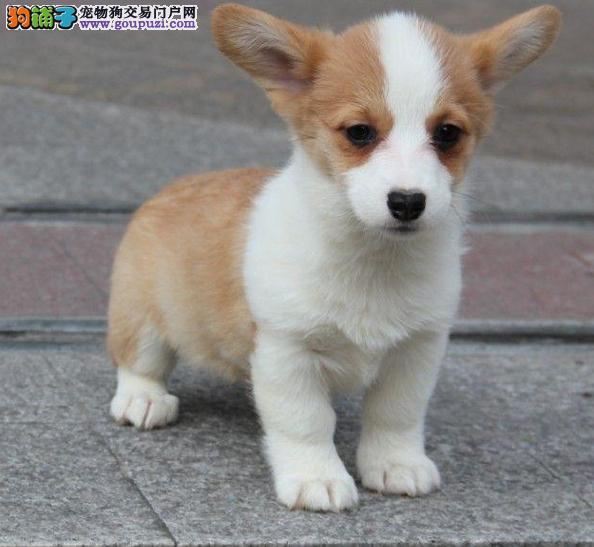 狗场出售柯基名犬一包纯种健康一签协议包养活