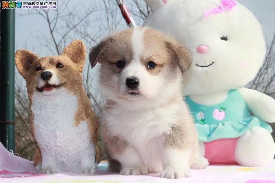 纯种威尔士短腿柯基犬出售,双色三通品相好多只挑选