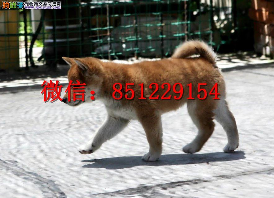 赣州哪里卖柴犬 纯种柴犬多少钱 日系柴犬幼犬图片