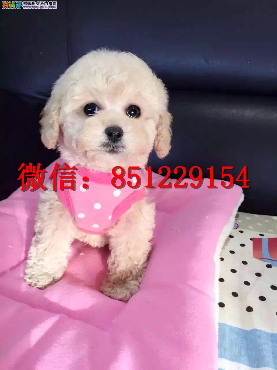 赣州哪里卖泰迪熊 纯种泰迪犬多少钱 茶杯泰迪幼犬