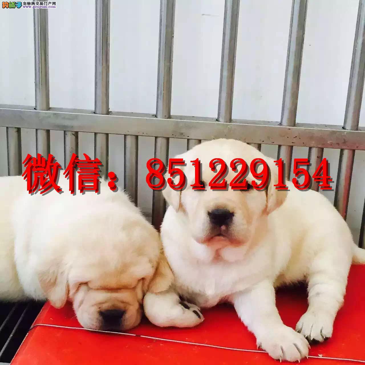 赣州哪里卖拉布拉多 纯种拉布拉多 拉布拉多导盲犬