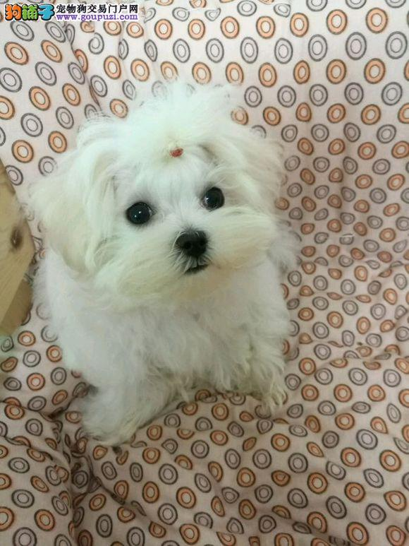 长期繁殖西施犬品种齐全 各类纯种名犬 包养活签协议