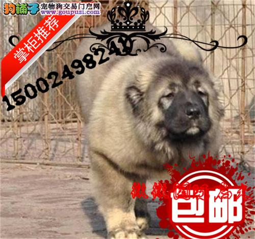 猛犬高加索繁殖基地长期繁殖优质纯种大骨架熊版高加索
