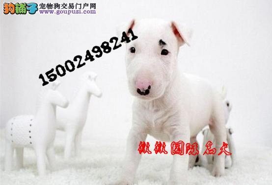 专业繁殖牛头梗幼犬 出售高品质纯血统保健康的牛头梗