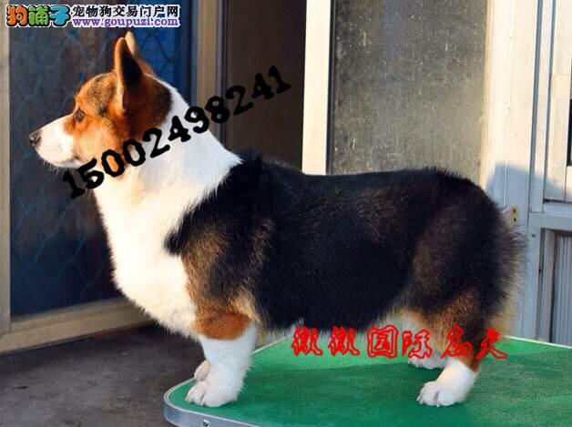 精品纯种威尔士柯基幼犬热销中 两色三色签合同有保障