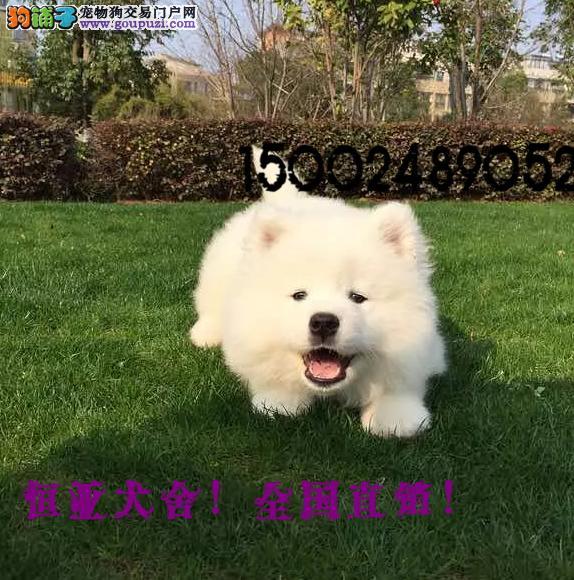 长期繁殖带双证书萨摩耶 各类纯种名犬 包养活签协议