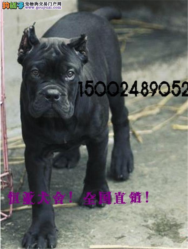 长期繁殖引进顶级卡斯罗 各类纯种名犬 包养活签协议