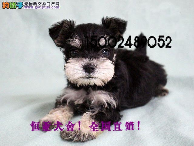 出售雪纳瑞幼犬迷你标准型小体雪纳瑞黑银椒盐送货上门
