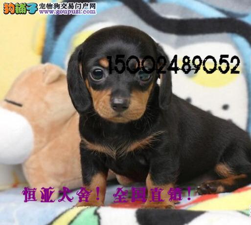 长期繁殖腊肠犬品种齐全 各类纯种名犬 包养活签协议