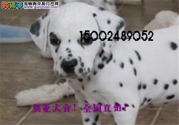 韩国引进大麦町甜美脸型斑点幼犬纯种健康质保终身