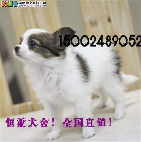 长期繁殖蝴蝶犬俊介博美 各类纯种名犬 包养活签协议