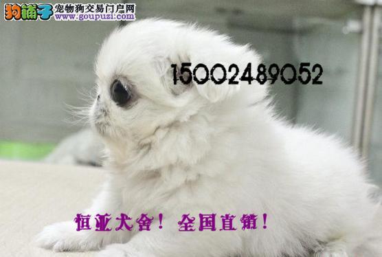 长期繁殖精品北京哈巴狗 各类纯种名犬 包养活签协议