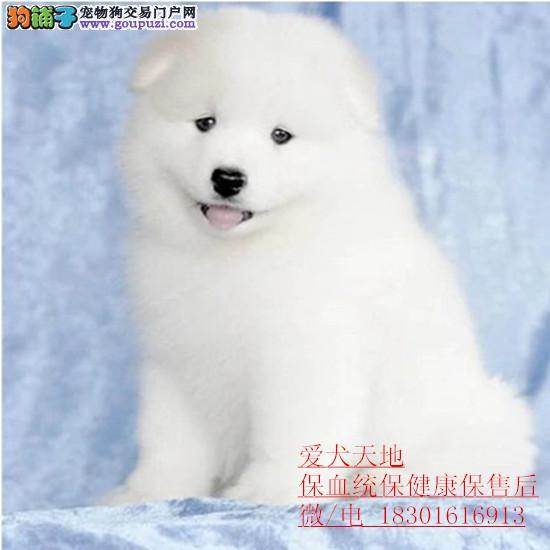 精品萨摩耶/厚毛微笑天使/保健康保纯血