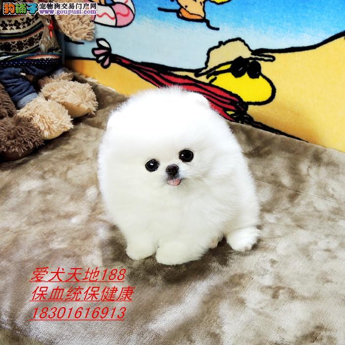 哈多利球体纯白色博美幼犬