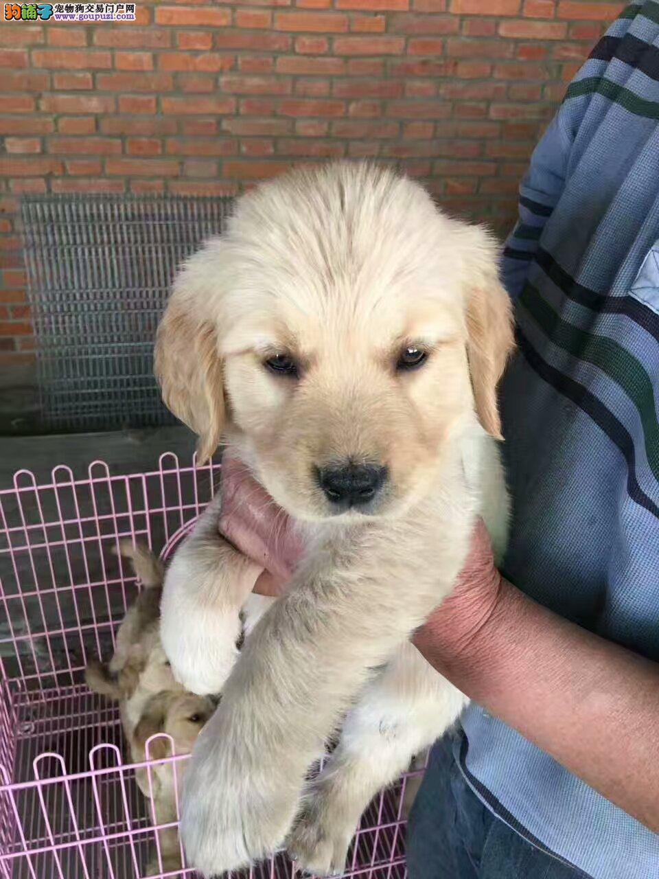 金毛幼犬出售 2个月,陆佰疫苗驱虫已做,品相好保健康