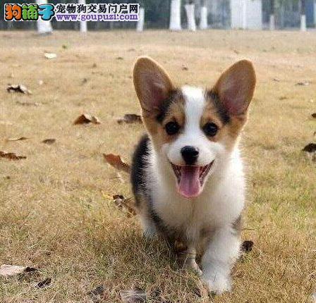 长期繁殖小短腿三通柯基 各类纯种名犬 包养活签协议