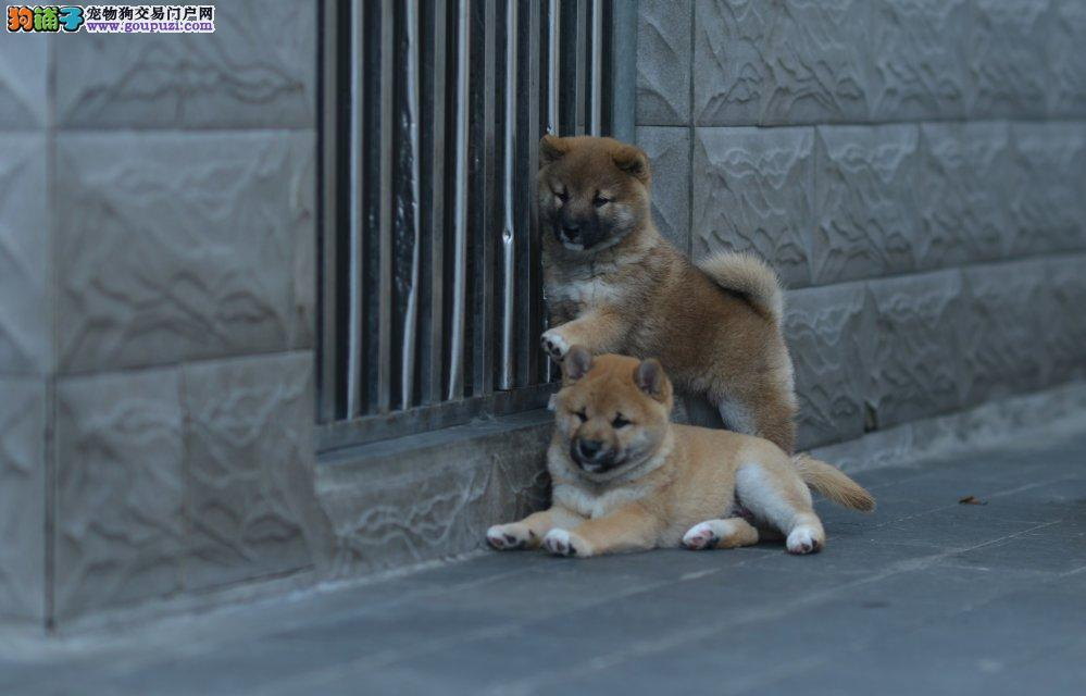 出售精品柴犬/包纯种·保健康·包养活/可送货上门