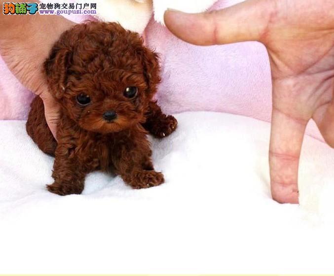 长期繁殖纯萌萌哒泰迪犬 各类纯种名犬 包养活签协议