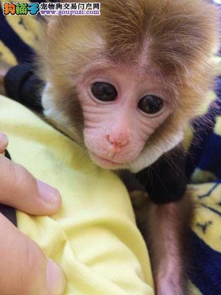 山东哪里有宠物猴卖多少钱一只