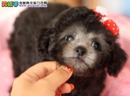 犬舍出售纯种玩具型泰迪熊 疫苗驱虫齐全 包一年健康