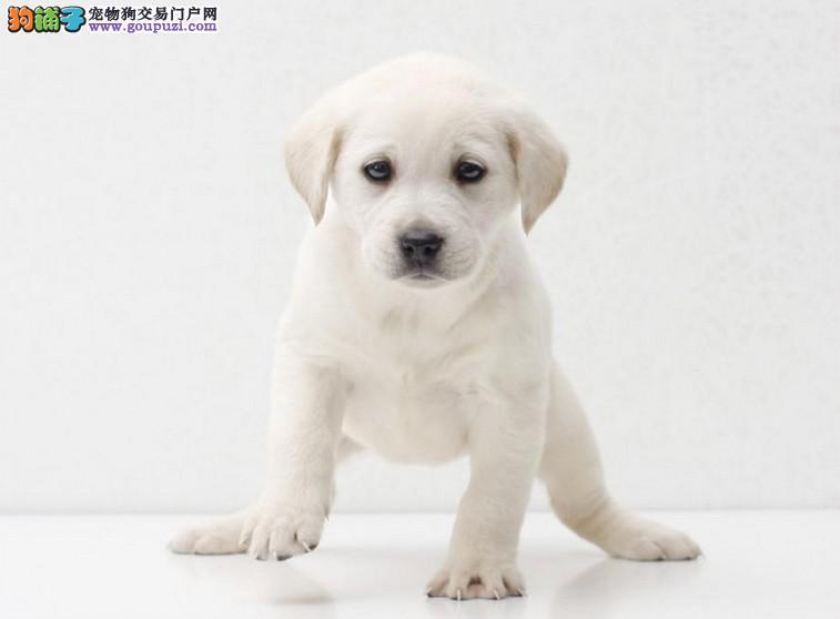 纯种拉布拉多幼犬 导盲犬拉布拉多出售中,大骨量头版