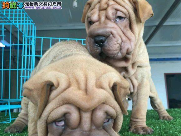 狗场专业繁殖沙皮幼犬血统纯品相好保健康欢迎来家看狗
