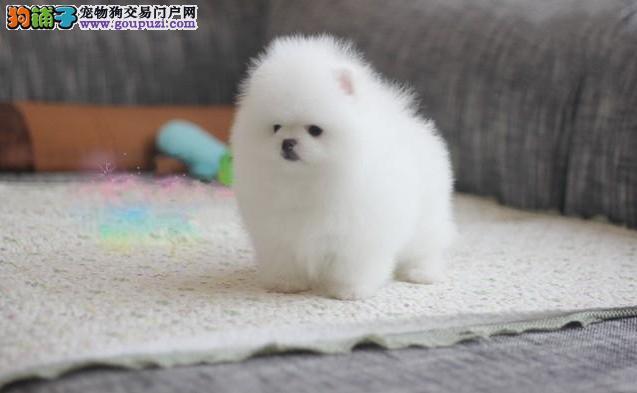 纯种茶杯犬博美犬幼犬出售茶杯犬长不大白色俊介