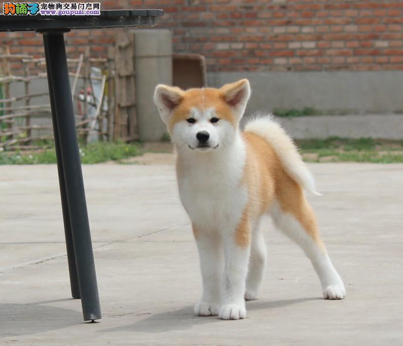 高品质秋田犬带血统出售中 终身质保 质量三包 签协议