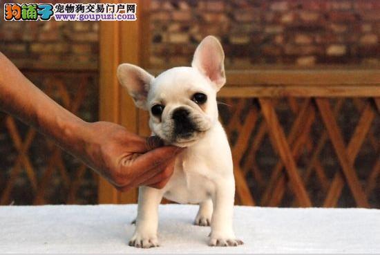 高品质的法国斗牛 幼犬出售了疫苗做完质量三包