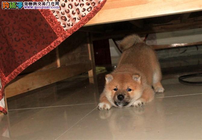 聪明的小柴犬幼犬是日系的,小柴犬非常听话也很乖巧