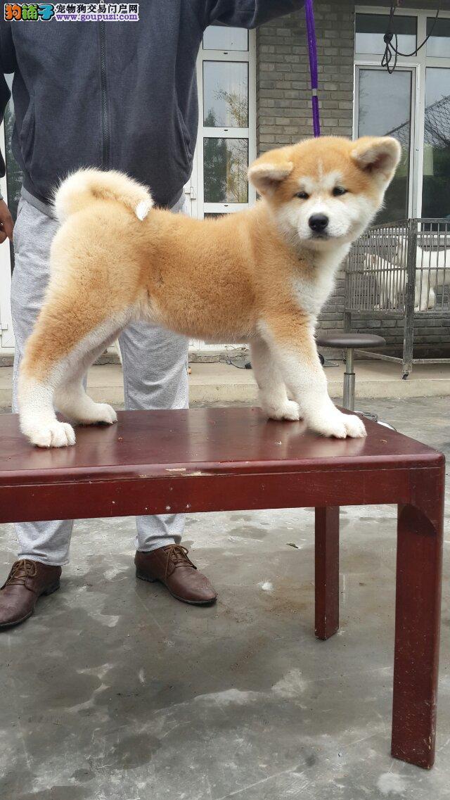 日系秋田犬出售 包半年健康 三个月包退换 可上门挑选