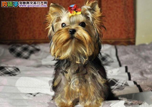 犬舍直销纯种约克夏犬、颜色可挑、多只可选、保证健康
