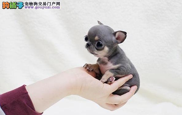 基地专业繁殖一精品吉娃娃幼犬一质保售后包终身