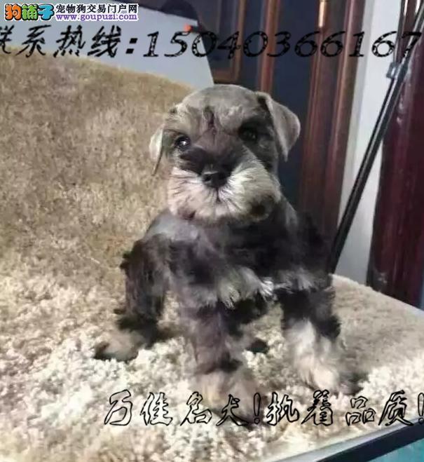 长期繁殖迷你标准雪纳瑞 各类纯种名犬 包养活签协议