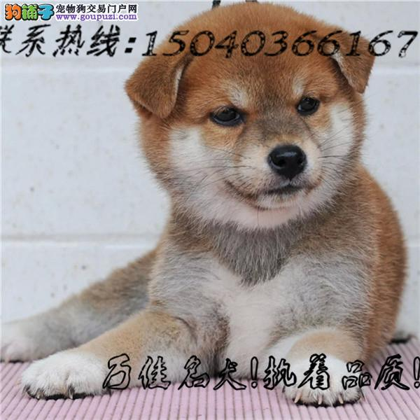 日本引进纯柴犬 包纯种健康 包养活签协议