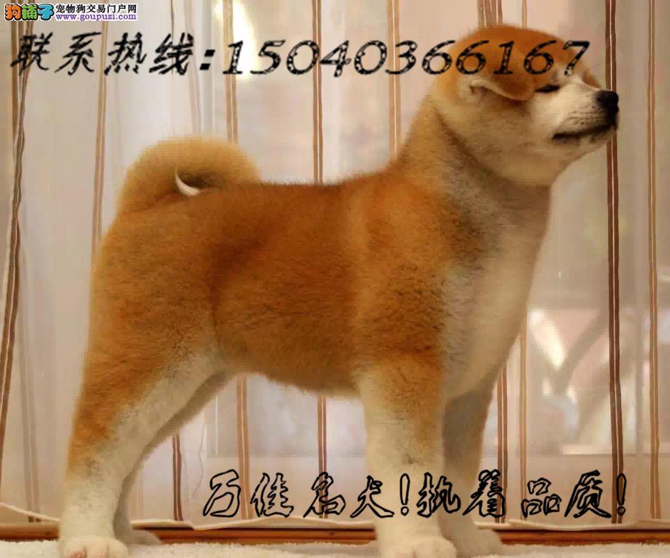 日本引进秋田犬 包纯种健康 包养活签协议