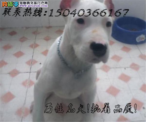 长期繁殖杜高卡斯罗马犬 各类纯种名犬 包养活签协议
