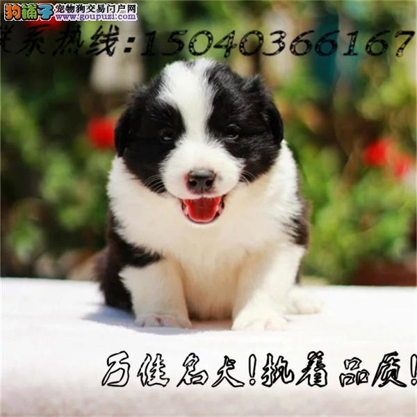 七白三通边牧犬 包纯种健康 包养活签协议