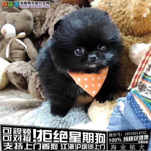cku认证犬舍出售极品 博美签协议保健康