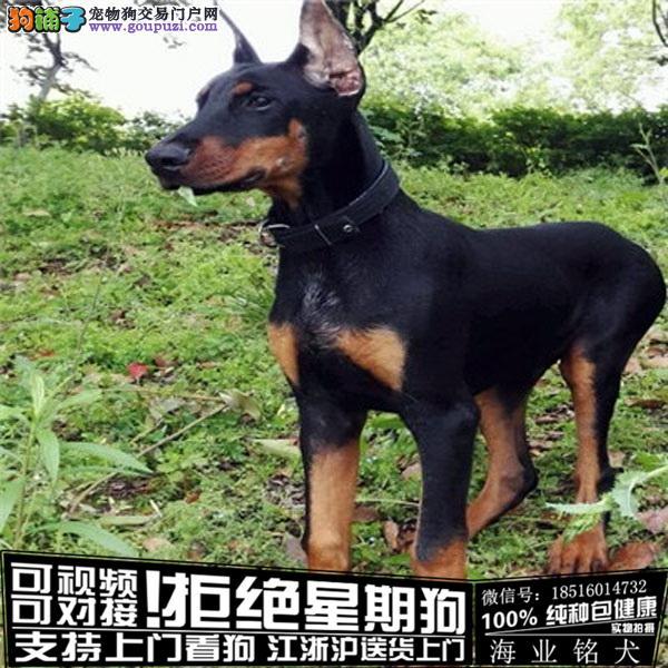 cku认证犬舍出售极品 杜宾犬签协议保健康