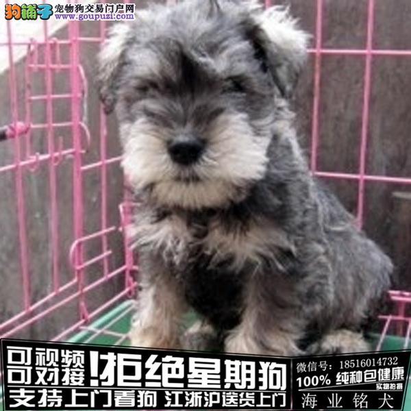 cku认证犬舍出售极品雪纳瑞 签协议保健康