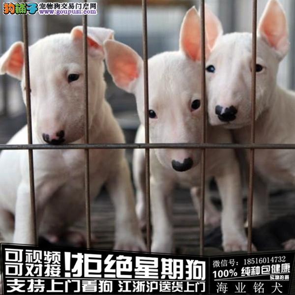 cku认证犬舍出售极品牛头梗 签协议保健康