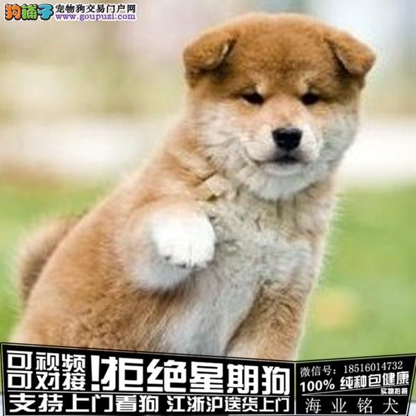 cku认证犬舍出售极品 柴犬签协议保健康
