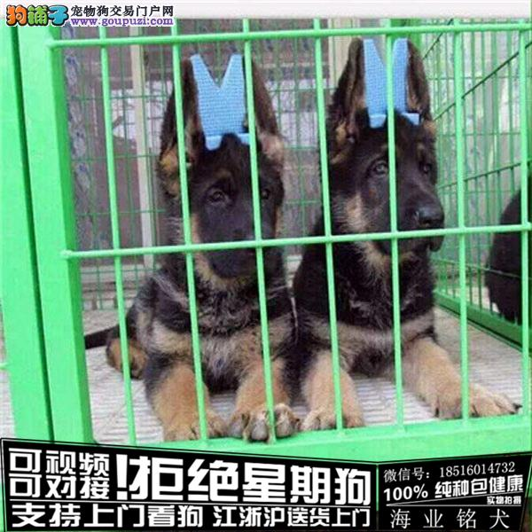 cku认证犬舍出售极品 德牧签协议保健康